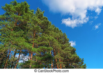 été, forêt, arbres pin, jour