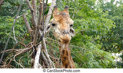 été, girafe, manger, lécher, mastication