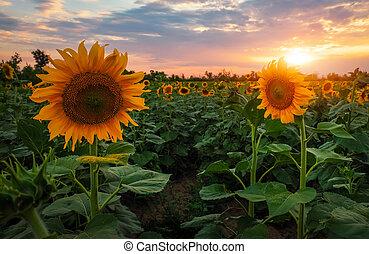 été, landscape:, beauté, coucher soleil, sur, tournesols, champ