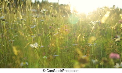 été, lumière, champ coucher soleil