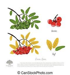 été, montagne, automne, arrière-plan., rowan, branche, cendre blanche