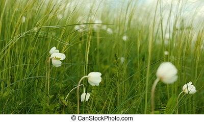 été, mouvementde va-et-vient, fleurs blanches, jour, vent