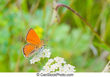 été, nectar, blanc, papillon, rassemblement, fleurs oranges