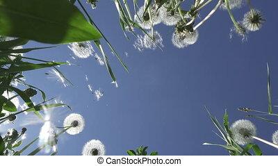 été, nuages, fond, ciel, pissenlit, ensoleillé, contre, champ, fond, blanc, jour, vue