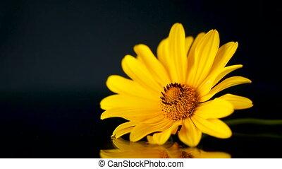 été, pâquerette fleur, isolé, jaune, noir, fleurir