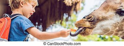 été, peu, alimentation, animaux, bannière, format, garçon, regarder, parc, long, avoir, girafe, chaud, zoo., safari, amusement, gosse, jour, heureux