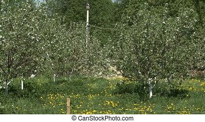 été, pomme, jardin