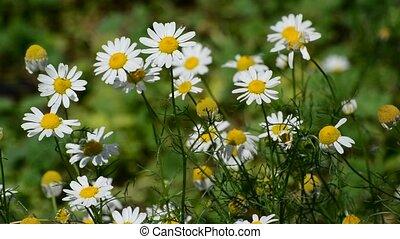 été, pré, floraison, champ, pâquerette, jour