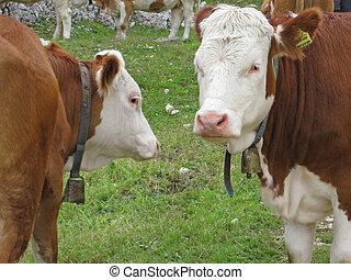 été, pré, tyrol, dolomites, ensoleillé, vaches, jour, sud, italien