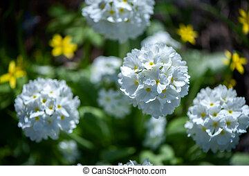 été, printemps, denticulata, clair, fond, fleurir, blanc, greens., primula