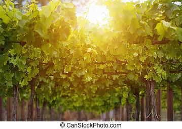 été, printemps, feuilles, vigne, vignoble, saison, ou