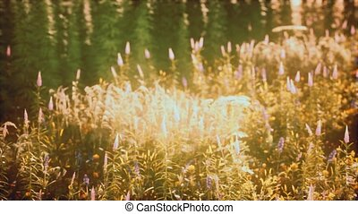 été, sauvage, champ, fleurs, coucher soleil