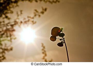été, soir, silhouetted, image, chausson, fleur, agaisn, agréable