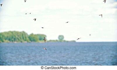 été, sur, voler, hirondelles, troupeau, rivière, jour