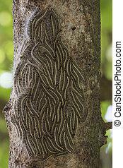 été, thaumetopoea, moth, chêne, -, arbre, chenilles,...