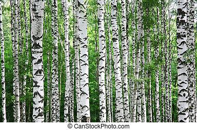 été, troncs, arbres, bouleau