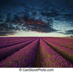 été, vibrant, sur, champ lavande, coucher soleil, paysage