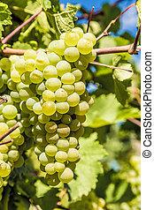 été, vigne, raisin