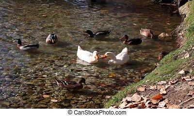 étang, bruyant, canards