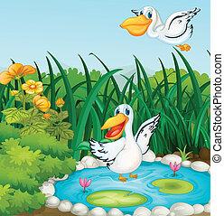 étang, canards
