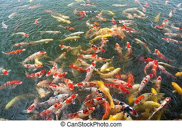 étang, koi pêchent, coloré