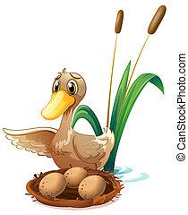 étang, oeufs, canard, nid, regarder
