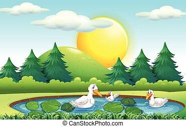 étang, trois, canards