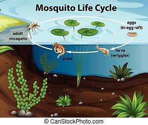 étang, vie, moustique, cycle