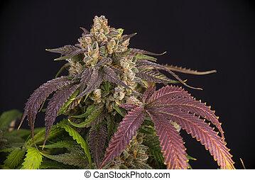 étape, tard, cheveux, fleurir, cannabis, strain), feuilles, ...