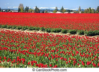 étendue, champs, tulipe, massif, rouges