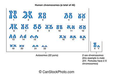 étiqueté, humain, --, chromosomes