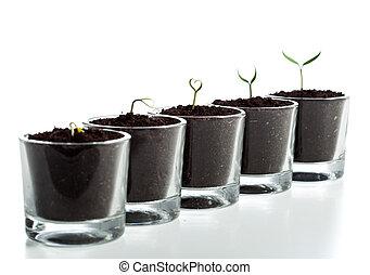 évolution, étapes, plante, jeune