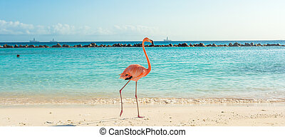 île, plage., flamant rose, aruba