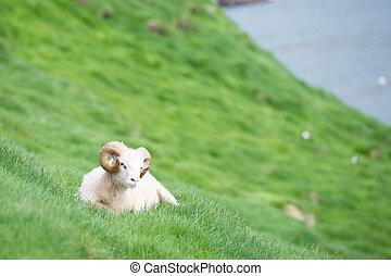 îles, mouton, faroe