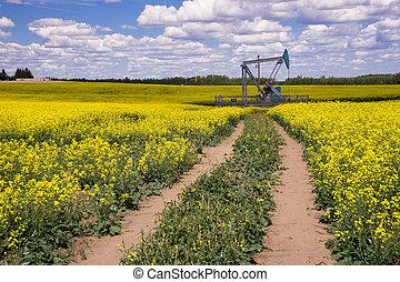 óleo, canola, campo, -, meio, florescer, alberta, rural, pumpjack