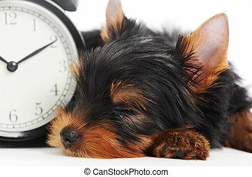 óra, ijedtség, kutya, yorkshire, kutyus, terrier