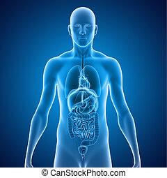 órgãos, human