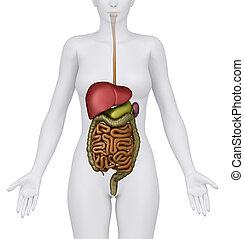 órganos abdominales, hembra