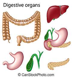 órganos digestivos, aislado