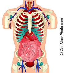 órganos, humano