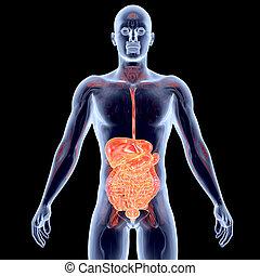 Órganos, interno,  -, Intestinos