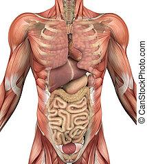 órganos, músculos, torso, macho