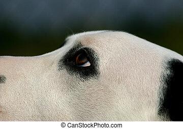 ögon, av, dalmatinhund