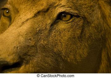 ögon, av, den, lejon