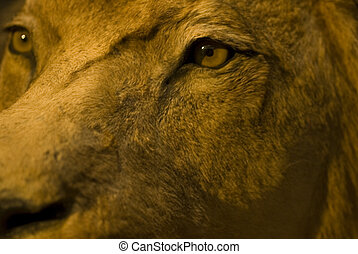 ögon, lejon