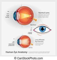 ögon, mänsklig, vektor, illustration, anatomi