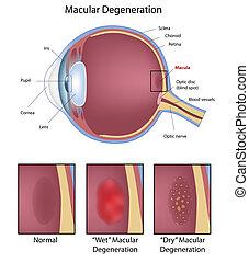 ögon, macular, urartning
