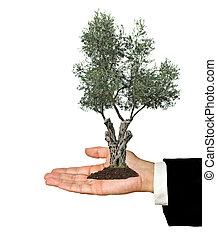 ölbaum, in, hand, als, a, geschenk, von, landwirtschaft