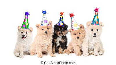 öt, pomerániai, kutyus, misét celebráló, egy, születésnap