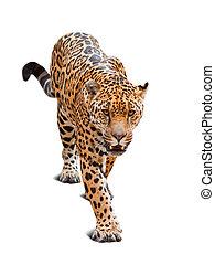 över, leopard, vit fond